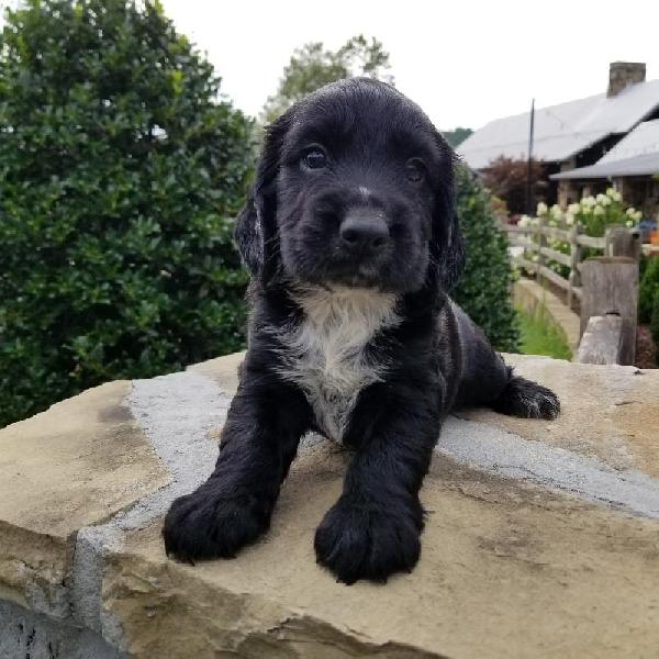 HUNTING DOGS FOR SALE - Gun dogs, Bird Dogs, Field Dogs and