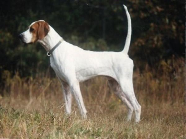 English Pointer Finished Dogs Sale