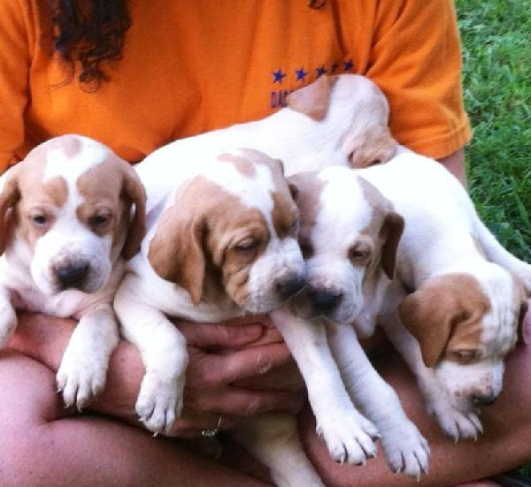 Pointers - Puppies for Sale