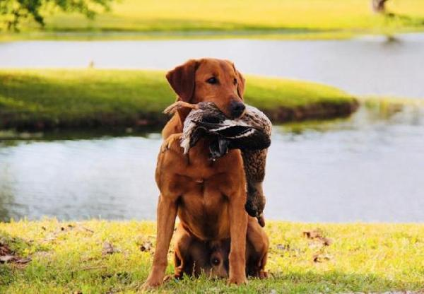 Retrievers Puppies For Sale