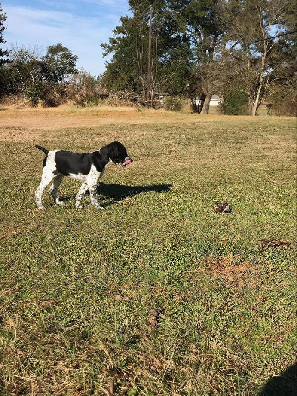Hunting Dogs For Puppies