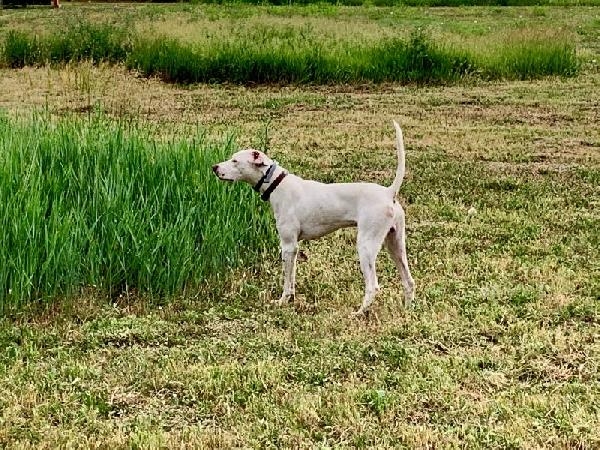 English Pointer