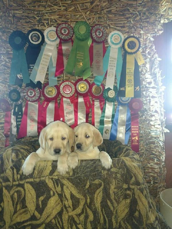 Retrievers - Puppies for Sale