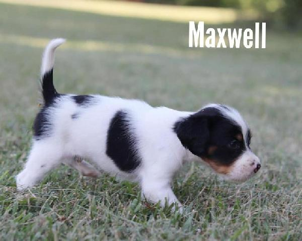 English Setter - Puppies for Sale