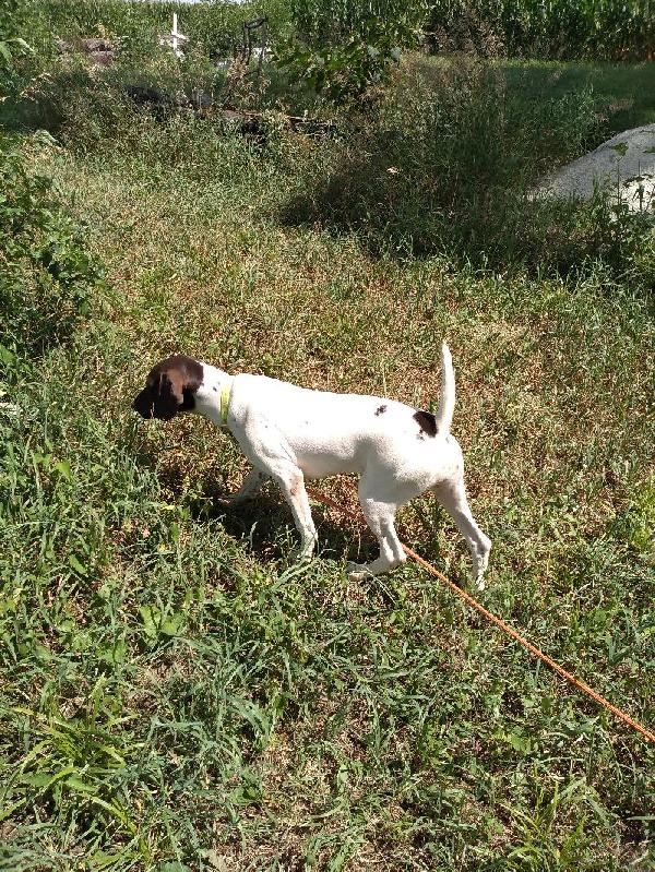 German Shorthaired Pointer - Started Dogs
