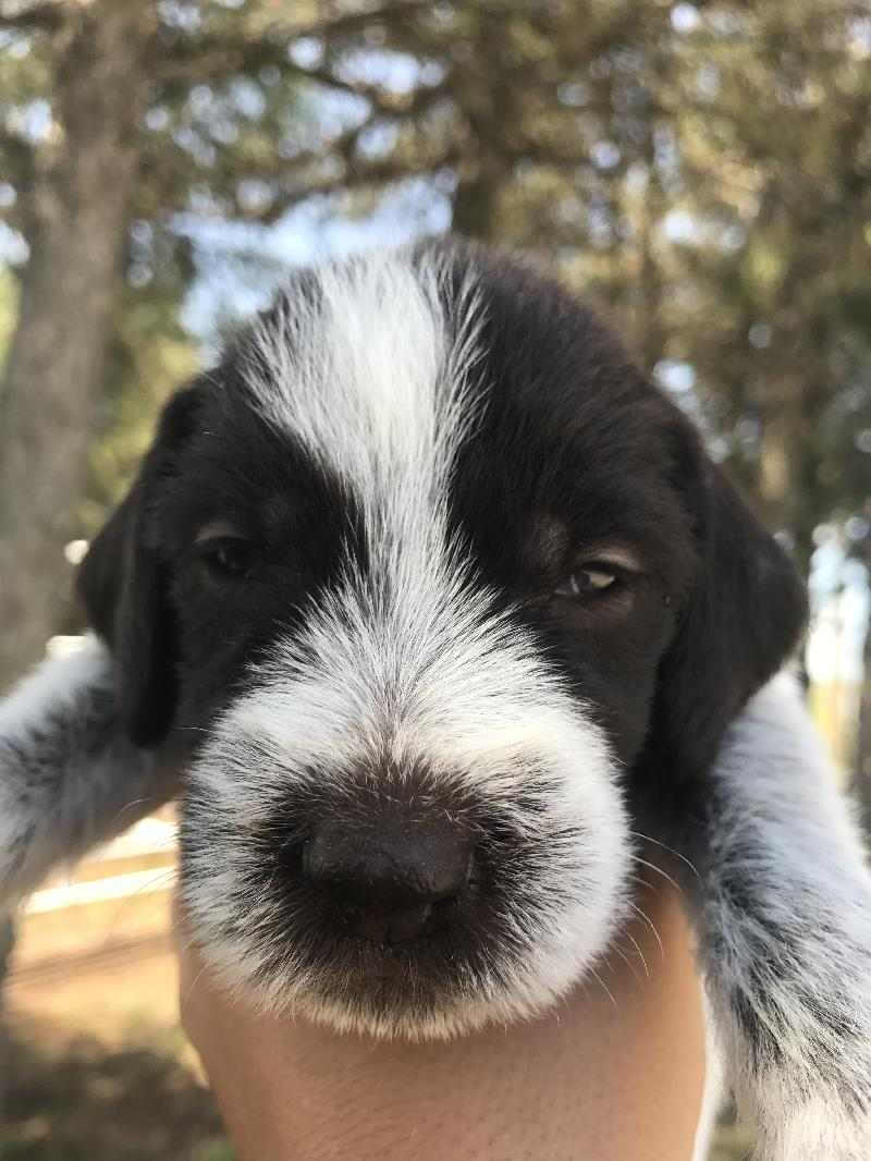 GERMAN WIREHAIRED PUPS