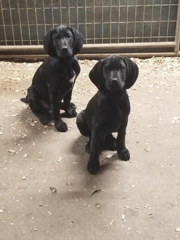 2 SOLID BLACK MALE PUPS