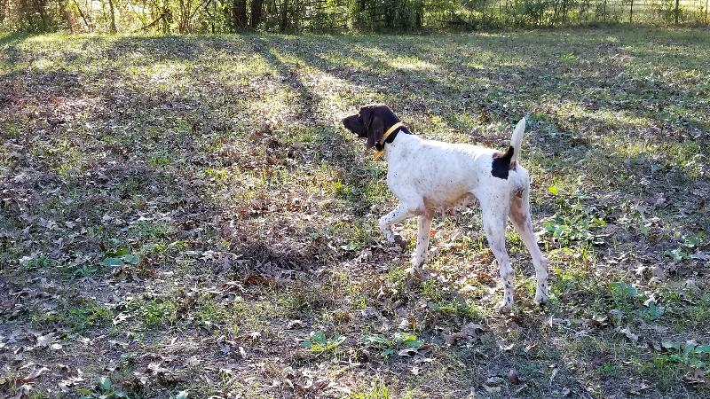 Akc Finished Gsp Bird Dog For Sale