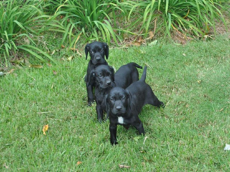 All Black German Shorthaired Pointer Puppies For Pets