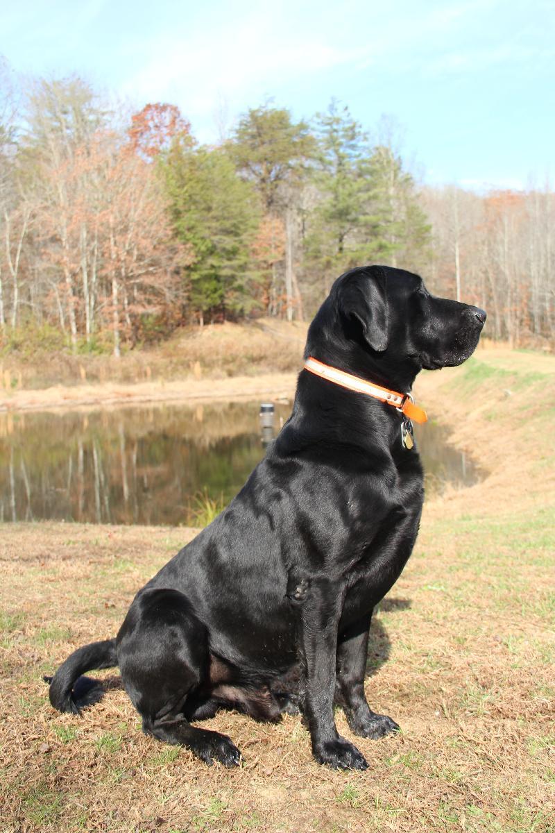 Large Black Lab Goldenacresdogs