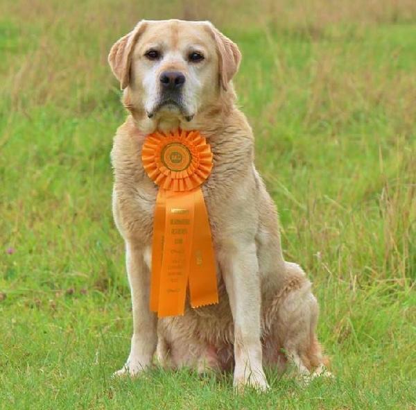 British Labrador Retriever