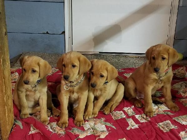 FOX RED YELLOW LAB PUPPIES