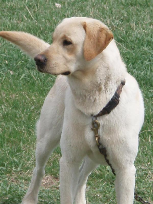British Labrador Retriever