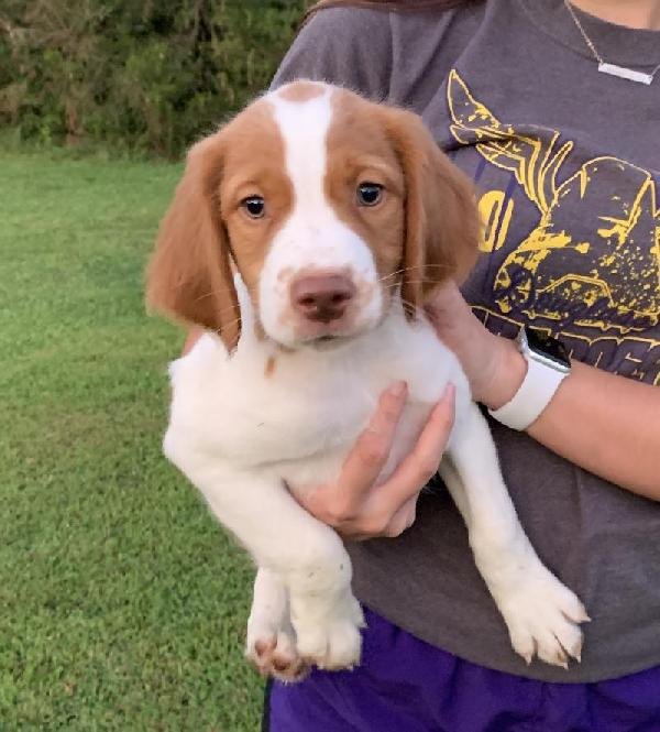 American Brittany - Puppies for Sale