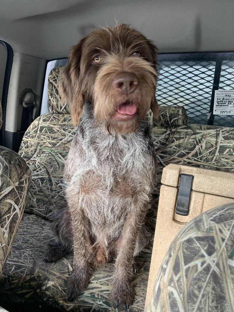 Akc Wirehaired Pointing Griffons Pups
