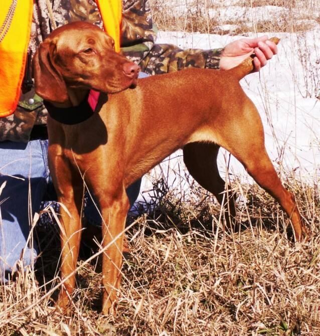 Gun Dog Puppies For Sale In Ohio