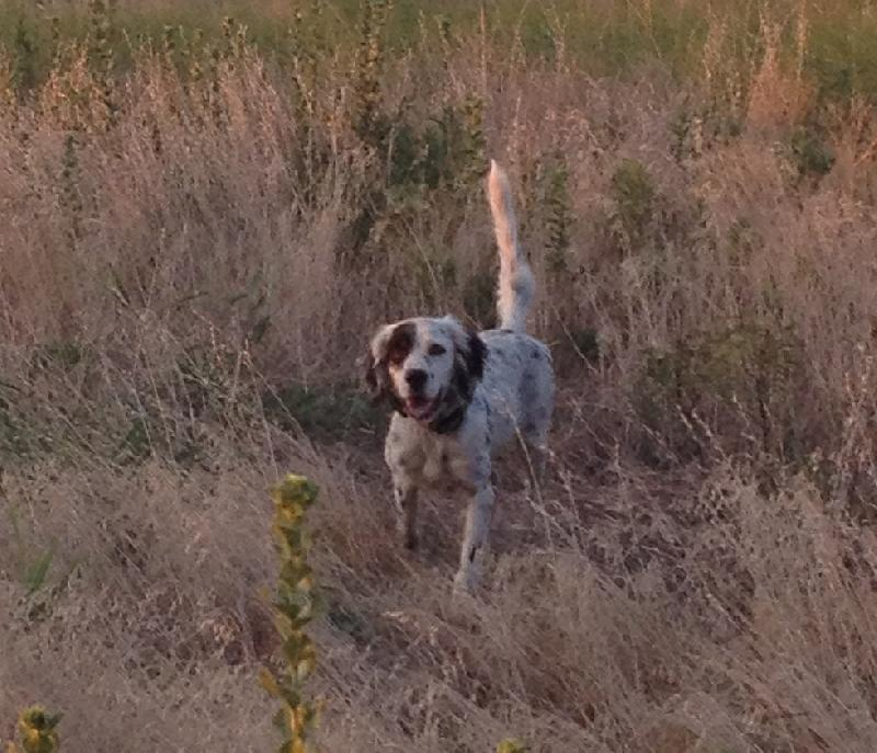 ENGLISH SETTER PUPPIES...