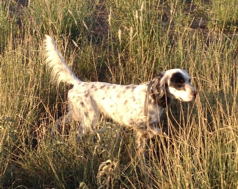 English Setter Puppies Hunting Family Dogs