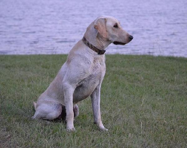 sporting dogs labrador retrievers birds of prey and - 760×607