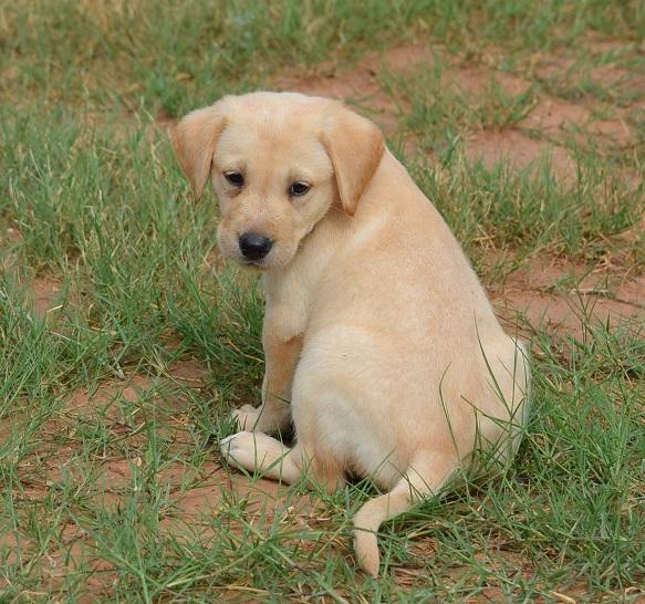Yellow American Lab Puppies Field Bred