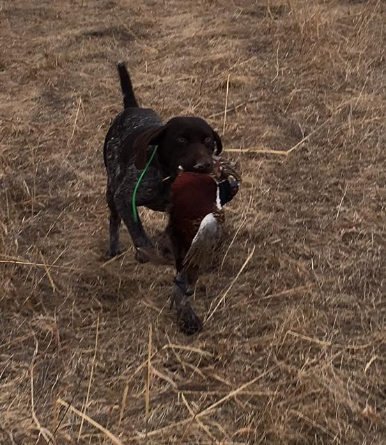 BLACK AND LIVER ROAN SHORTHAIR PUPPIES