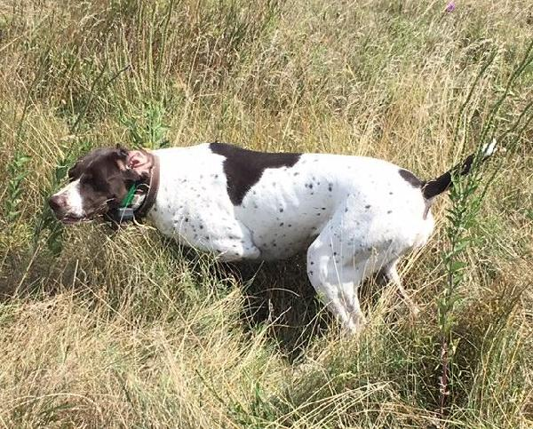 LIVER WHITE FEMALE GERMAN SHORTHAIR