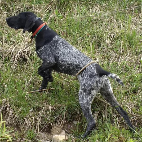 BrittanyUnderFortyYards Gundog CoinGSP Labrador Pointer Vizsla Setter