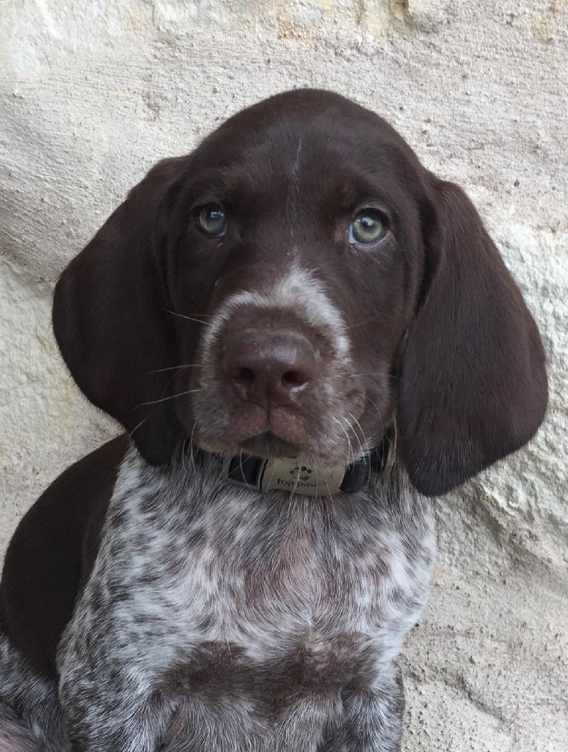 LIVER ROAN GERMAN SHORTHAIRED POINTER PUPPY
