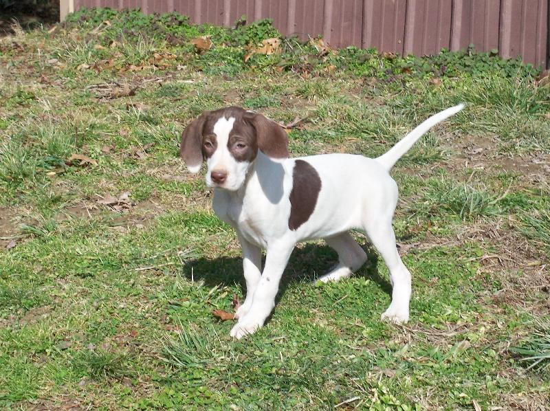 English Pointer Dog For Sale