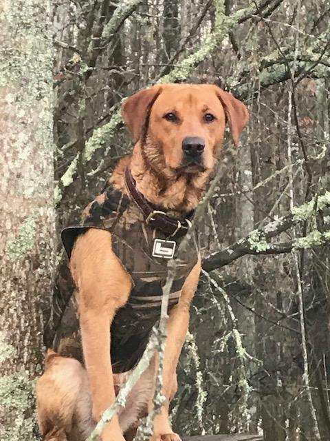 Hunting Dogs for Sale