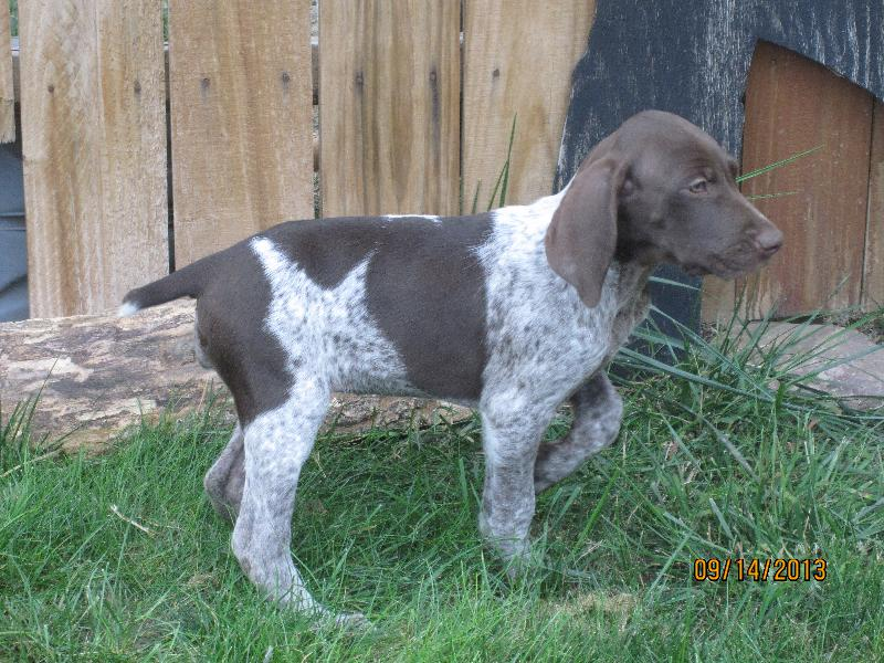 German Shorthair Dogs For Sale Mn