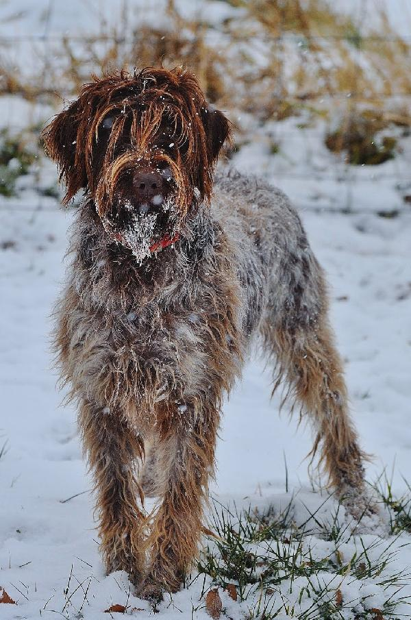 Idaho Outback Wirehaired Pointing Griffons
